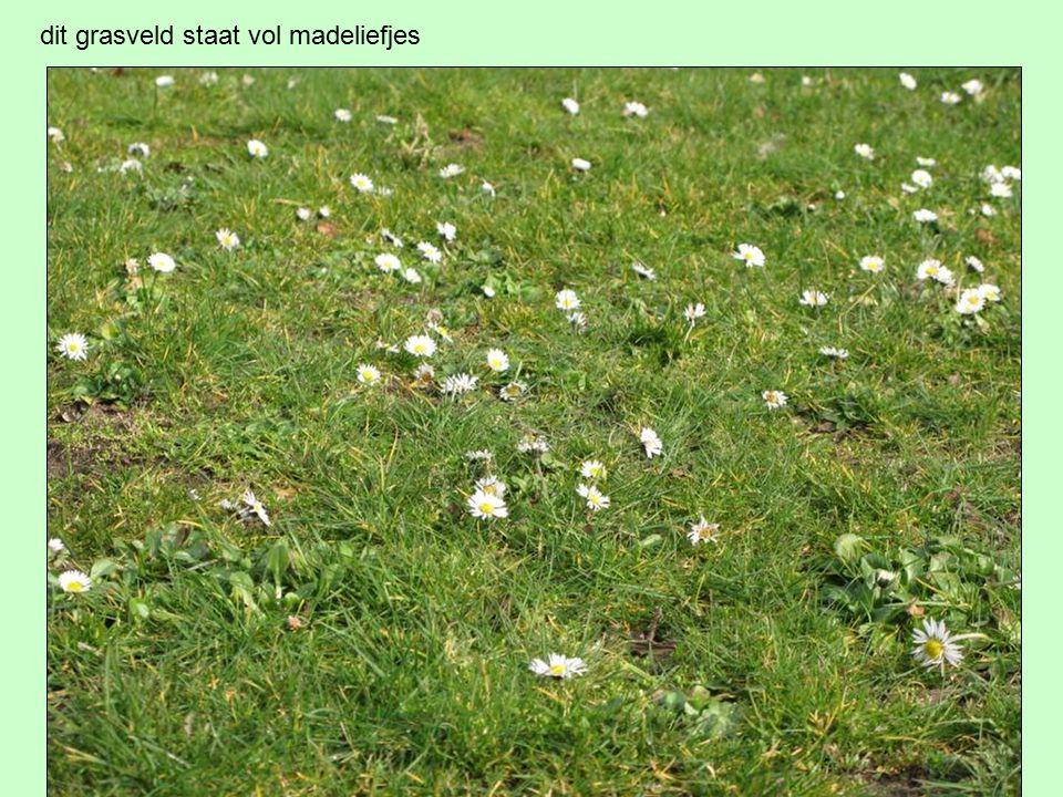 dit grasveld staat vol madeliefjes