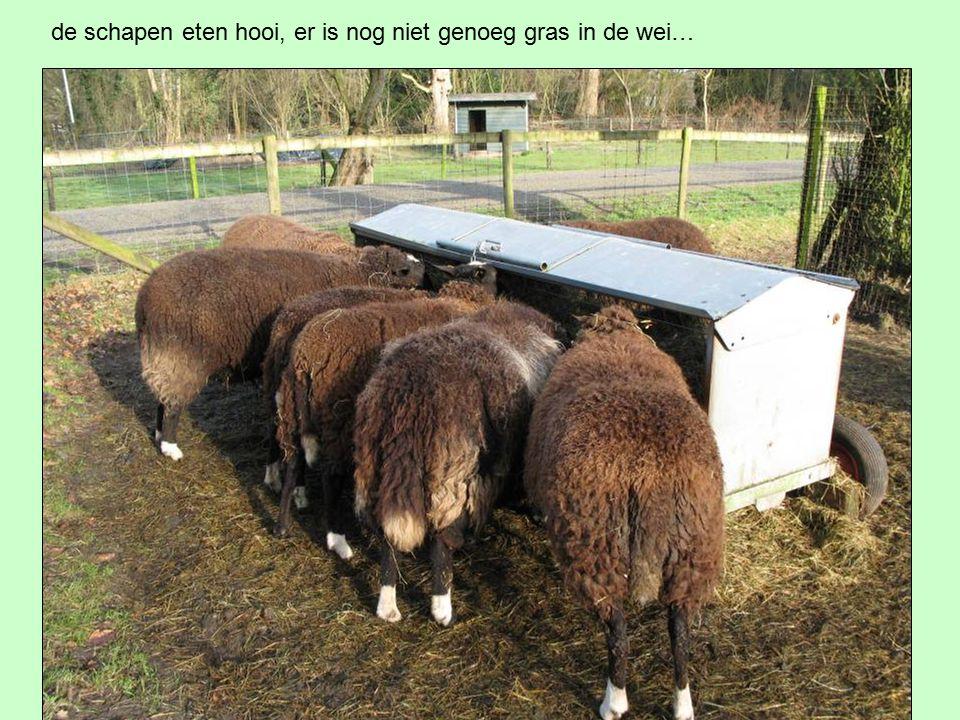 de schapen eten hooi, er is nog niet genoeg gras in de wei…