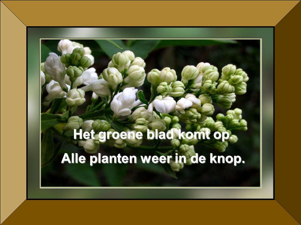 Het groene blad komt op. Alle planten weer in de knop.