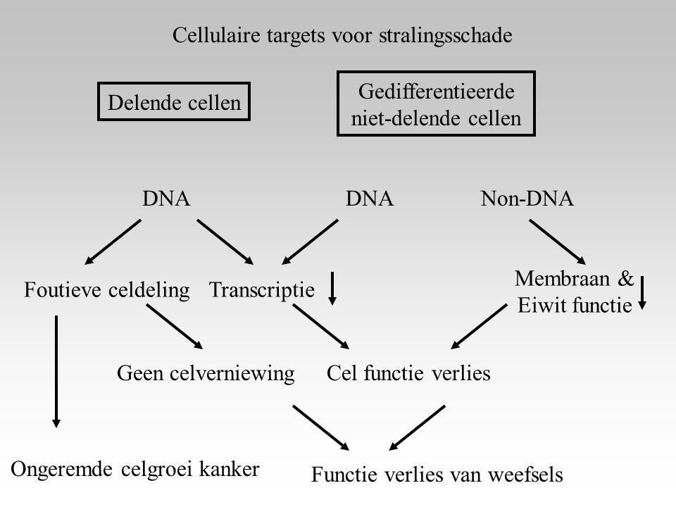 Cellulaire targets voor stralingsschade Delende cellen Gedifferentieerde niet-delende cellen DNA Non-DNA TranscriptieFoutieve celdeling Membraan & Eiw