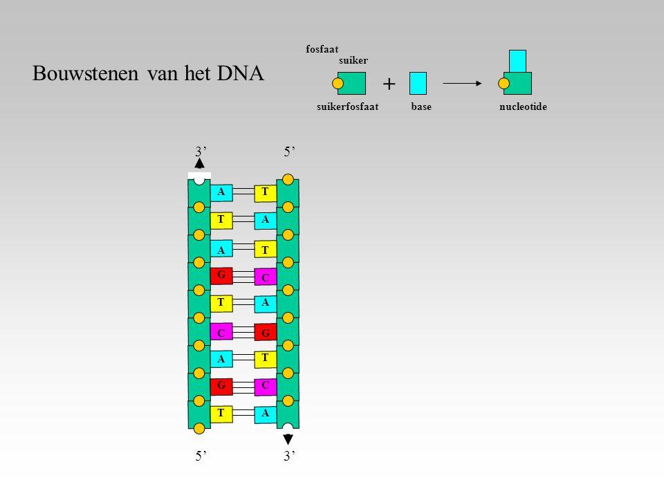 fosfaat suikerfosfaat suiker nucleotide + base A A A T T T G G C 3' 5' A A A T T T G C C 3' Bouwstenen van het DNA