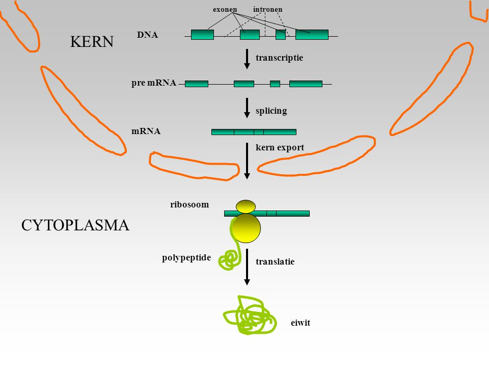 pre mRNA transcriptie mRNA splicing kern export translatie eiwit ribosoom polypeptide DNA KERN CYTOPLASMA exonenintronen