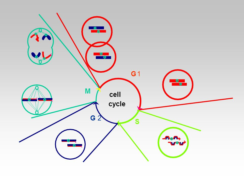 G 2 M G1 S cell cycle