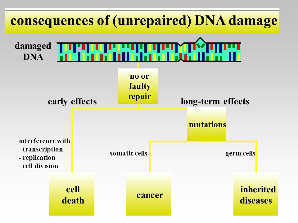 early effects interference with - transcription - replication - cell division cell death long-term effects mutations somatic cellsgerm cells cancer in