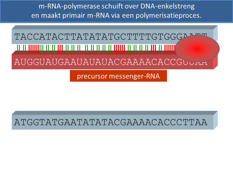 ATGGTATGAATATATACGAAAACACCCTTAA TACCATACTTATATATGCTTTTGTGGGAATT precursor messenger-RNA m-RNA-polymerase schuift over DNA-enkelstreng en maakt primair