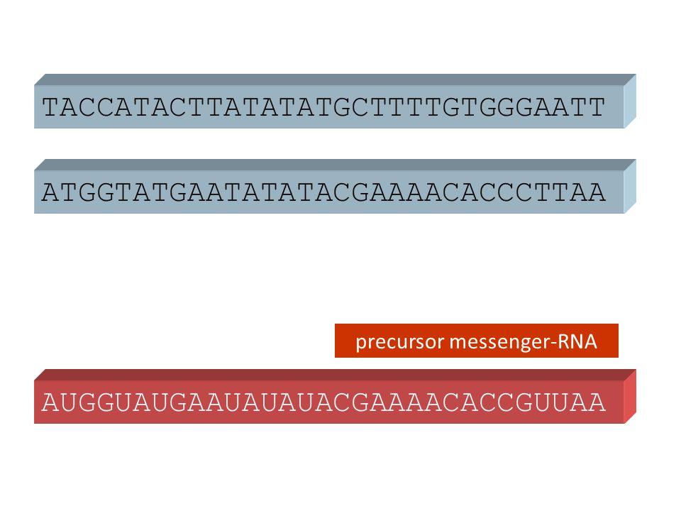 ATGGTATGAATATATACGAAAACACCCTTAA TACCATACTTATATATGCTTTTGTGGGAATT AUGGUAUGAAUAUAUACGAAAACACCGUUAA precursor messenger-RNA