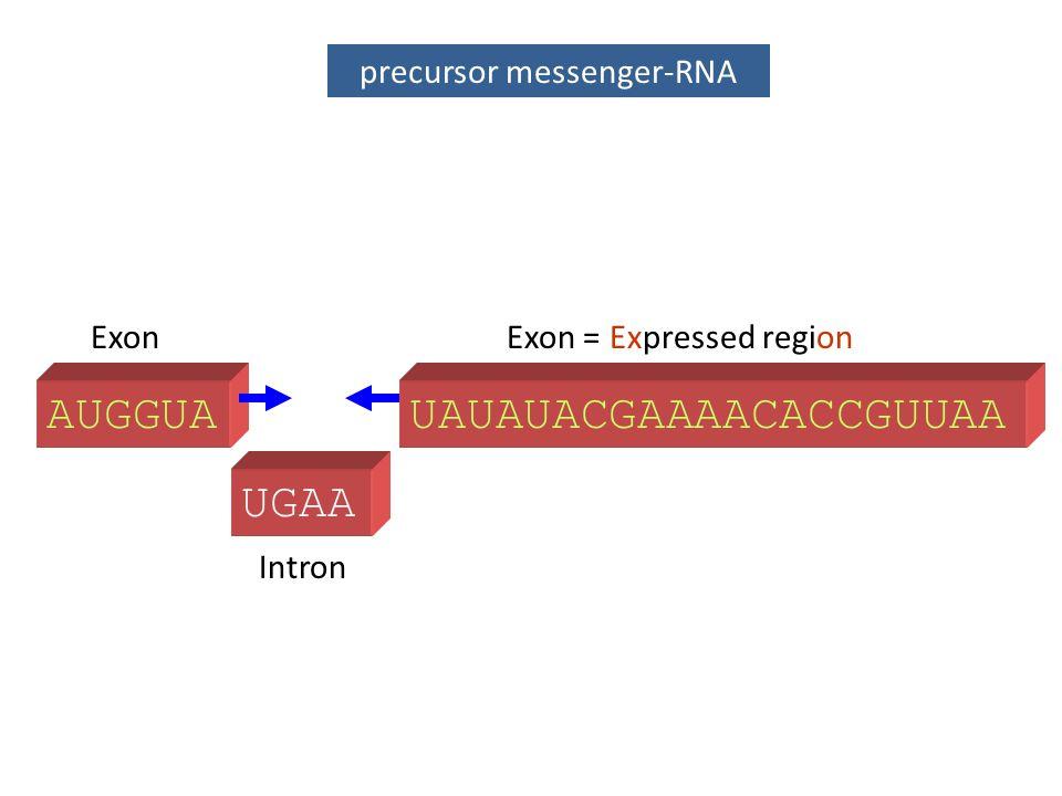 UGAA precursor messenger-RNA AUGGUA Intron ExonExon = Expressed region UAUAUACGAAAACACCGUUAA