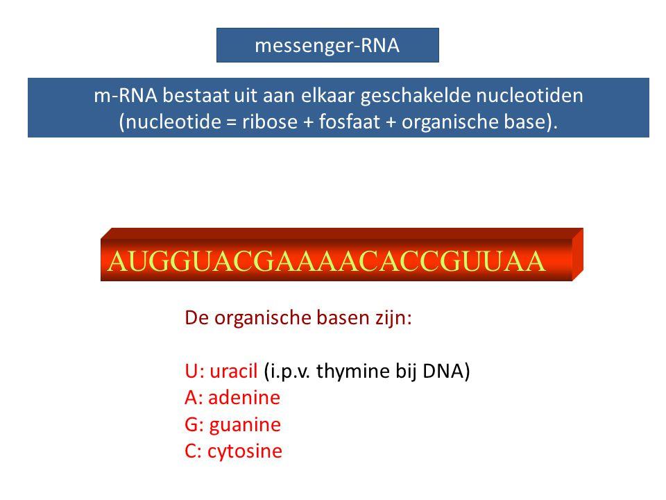 AUGGUACGAAAACACCGUUAA messenger-RNA m-RNA bestaat uit aan elkaar geschakelde nucleotiden (nucleotide = ribose + fosfaat + organische base). De organis