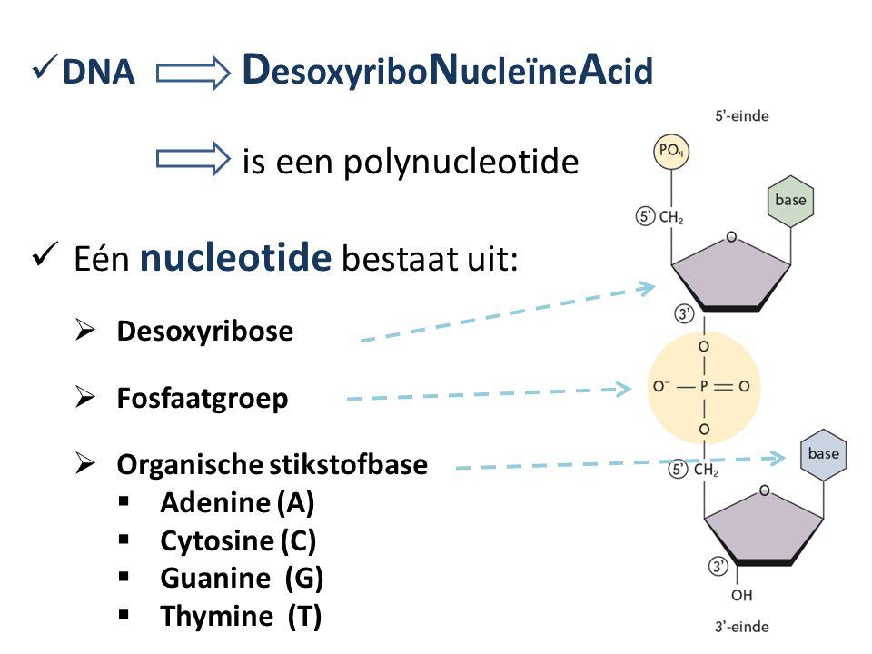DNA D esoxyribo N ucleïne A cid is een polynucleotide Eén nucleotide bestaat uit:  Desoxyribose  Fosfaatgroep  Organische stikstofbase  Adenine (A