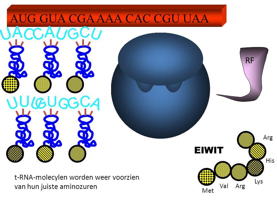 AUG GUA CGA AAA CAC CGU UAA RF EIWIT t-RNA-molecylen worden weer voorzien van hun juiste aminozuren Met ValArg Lys His Arg
