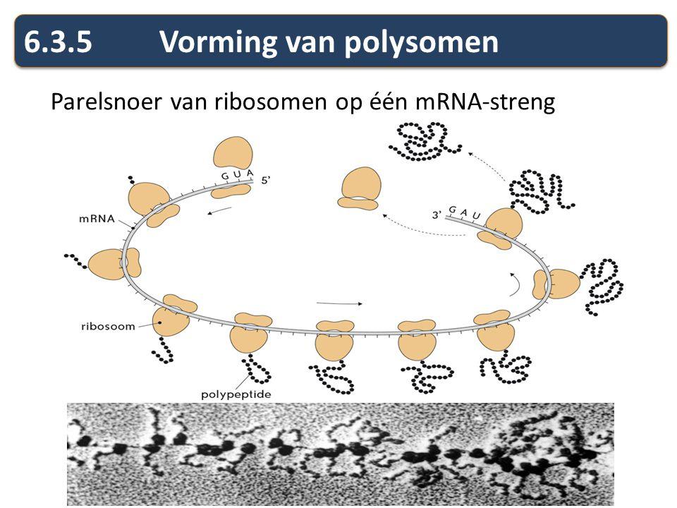 Parelsnoer van ribosomen op één mRNA-streng 6.3.5Vorming van polysomen