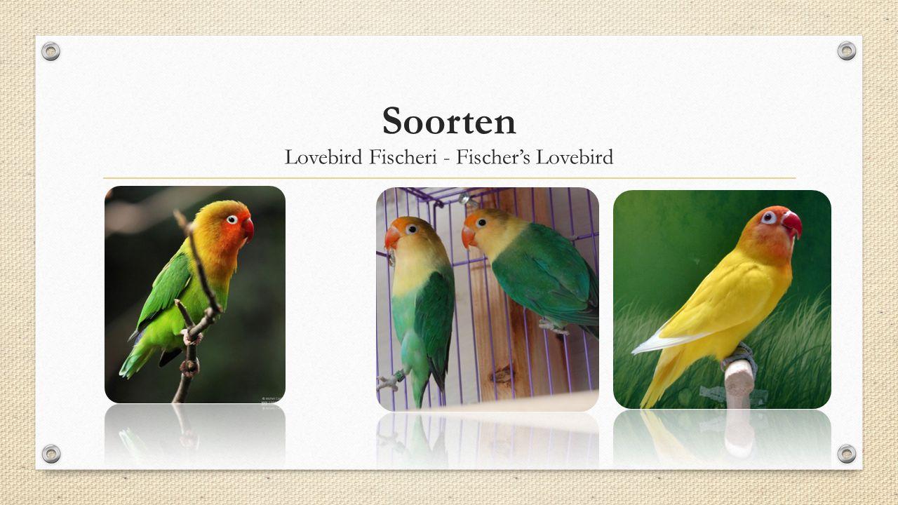 Soorten Lovebird Fischeri - Fischer's Lovebird