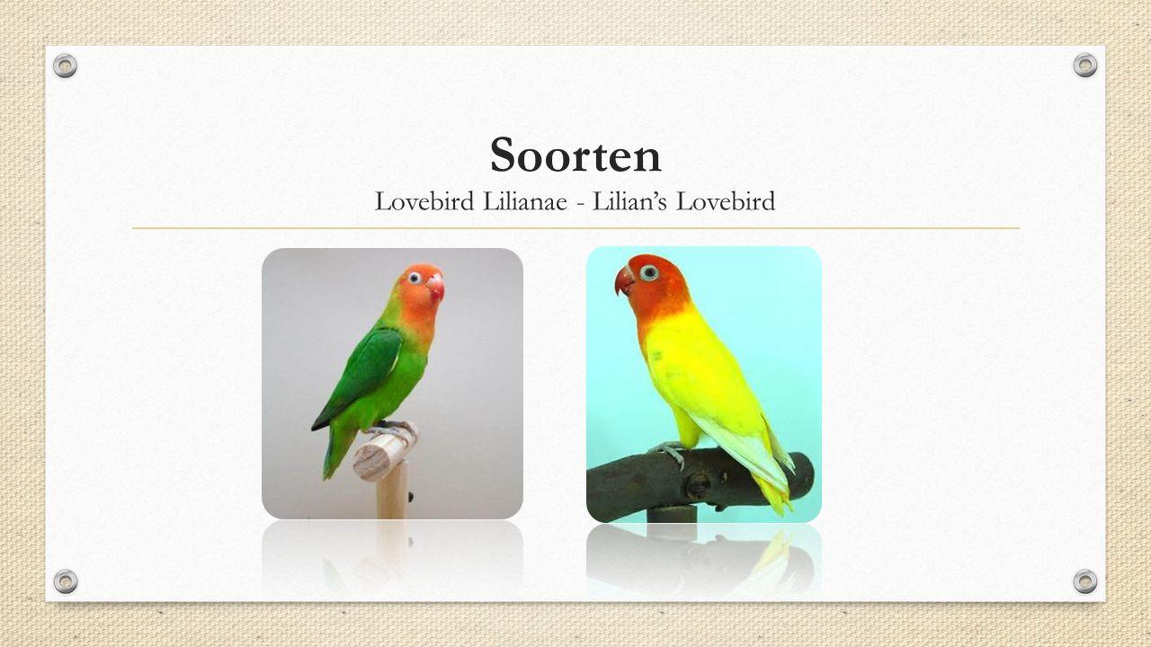 Soorten Lovebird Lilianae - Lilian's Lovebird