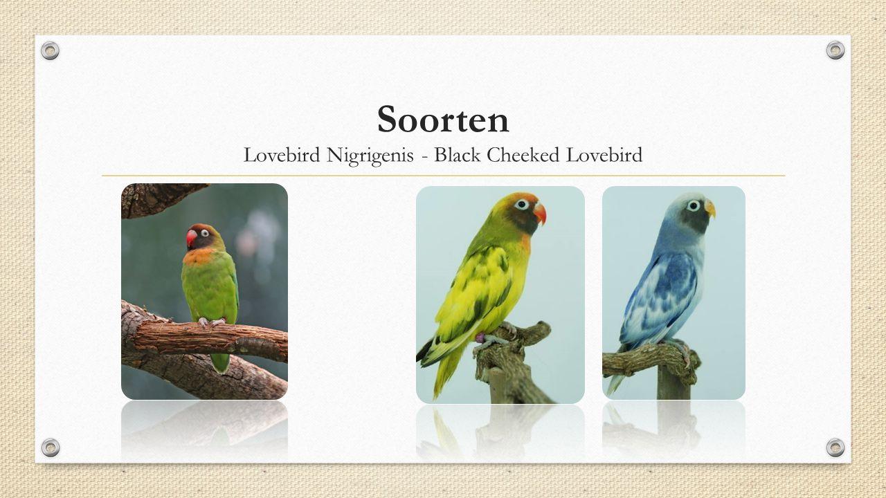 Soorten Lovebird Nigrigenis - Black Cheeked Lovebird