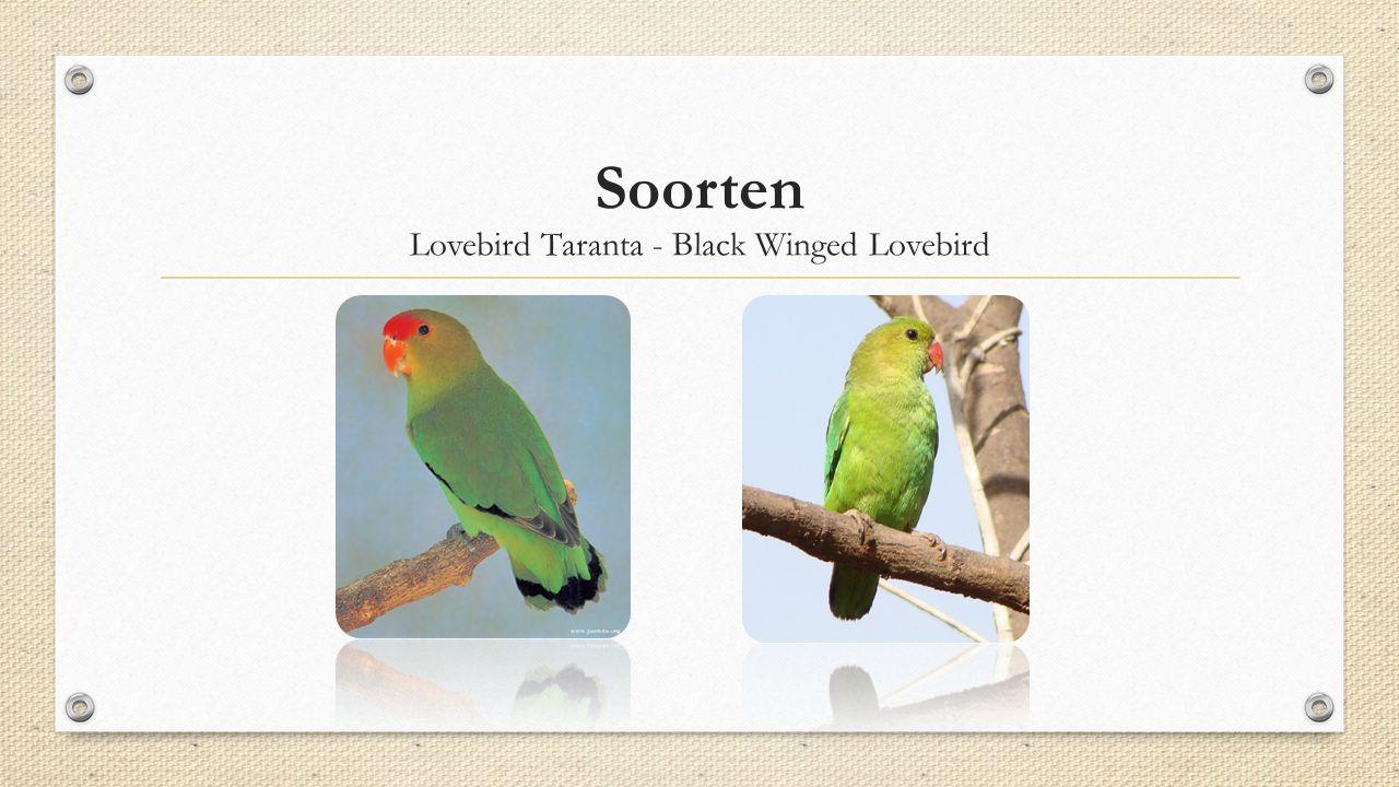 Soorten Lovebird Taranta - Black Winged Lovebird