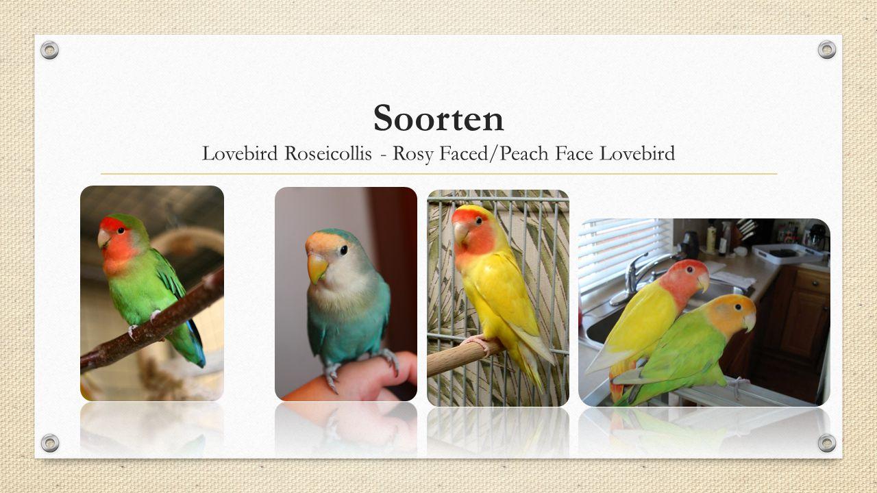 Soorten Lovebird Roseicollis - Rosy Faced/Peach Face Lovebird