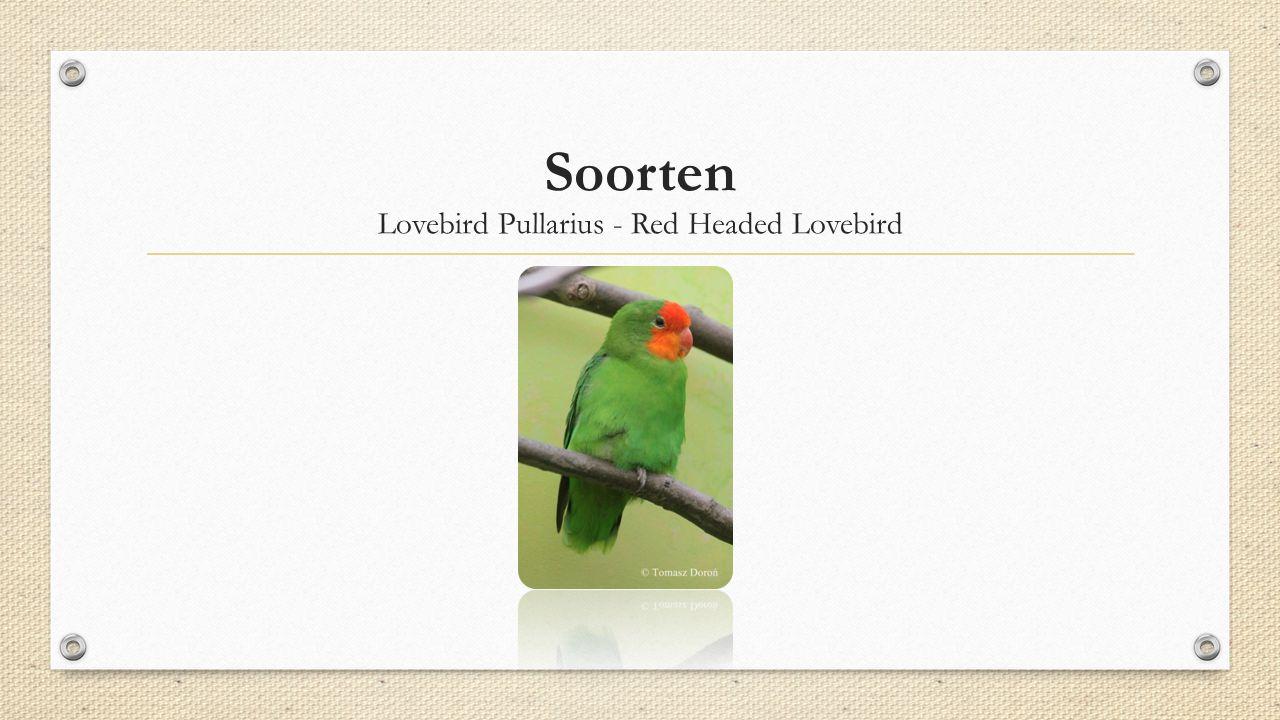 Soorten Lovebird Pullarius - Red Headed Lovebird