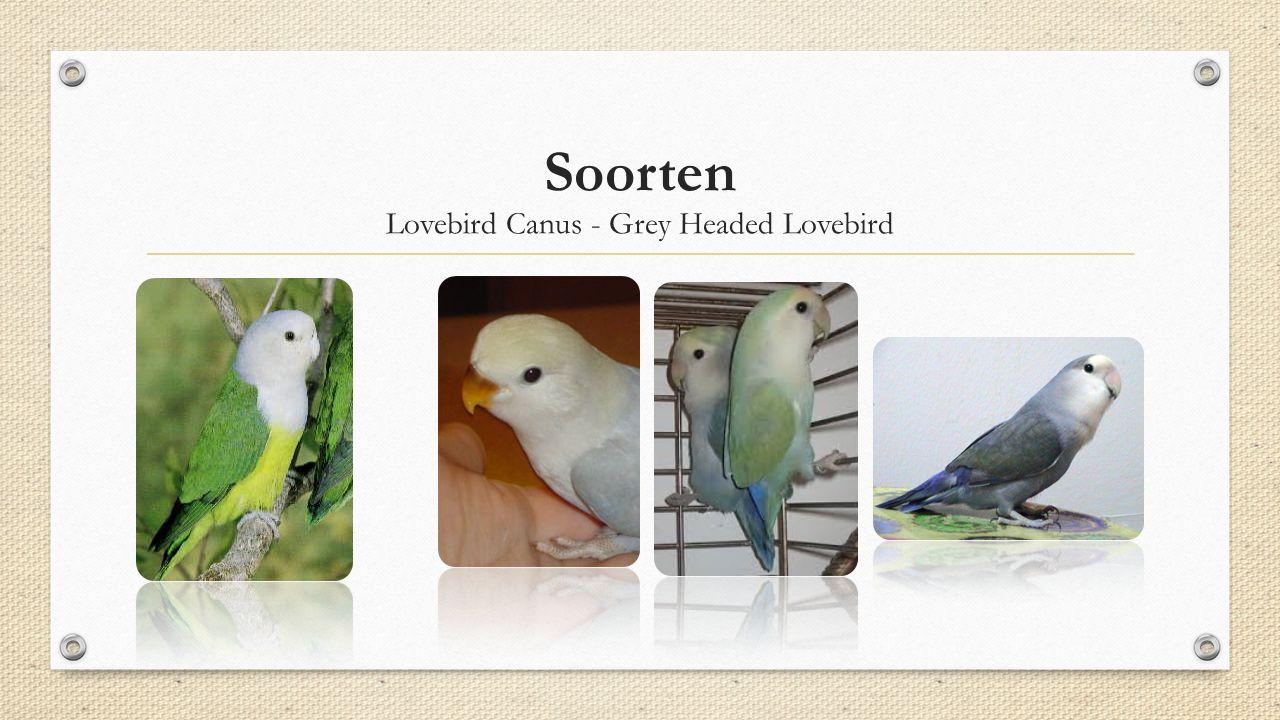 Soorten Lovebird Canus - Grey Headed Lovebird