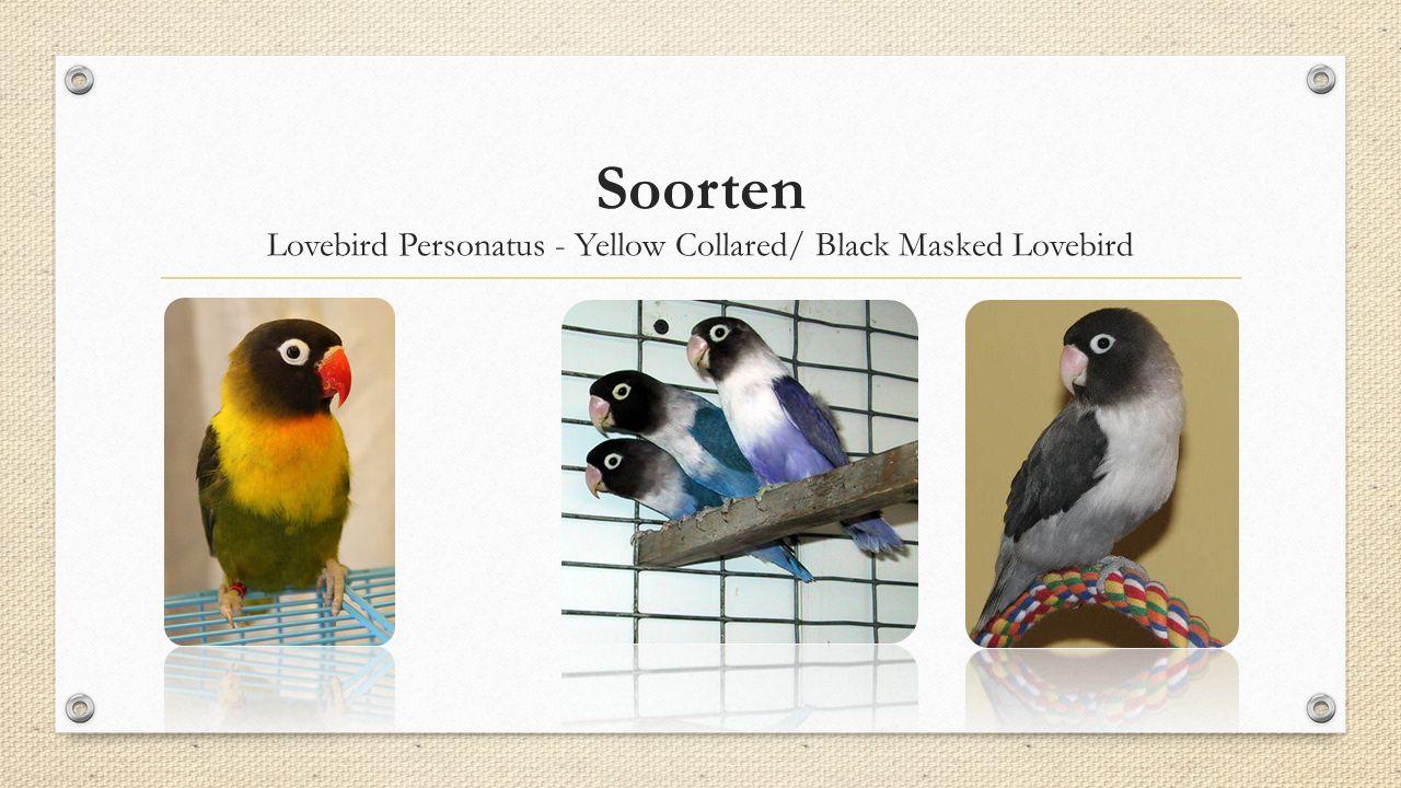 Soorten Lovebird Personatus - Yellow Collared/ Black Masked Lovebird