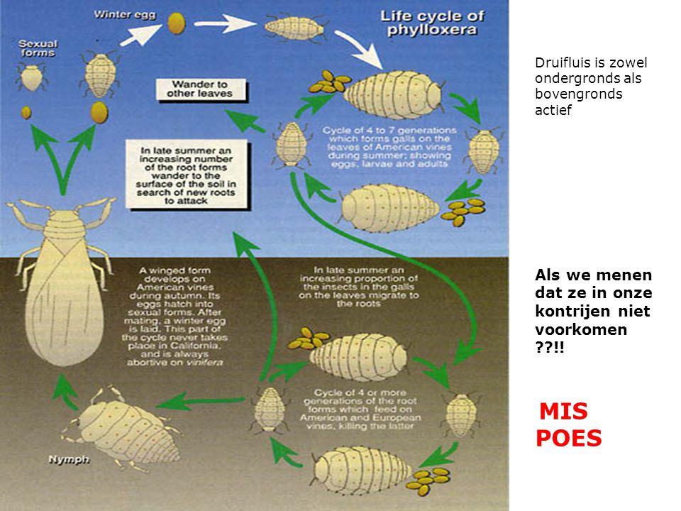 Druifluis is zowel ondergronds als bovengronds actief Als we menen dat ze in onze kontrijen niet voorkomen ??!.