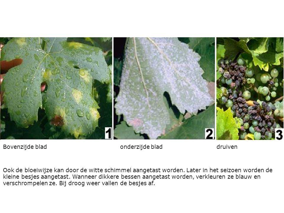 Bovenzijde blad onderzijde blad druiven Ook de bloeiwijze kan door de witte schimmel aangetast worden.