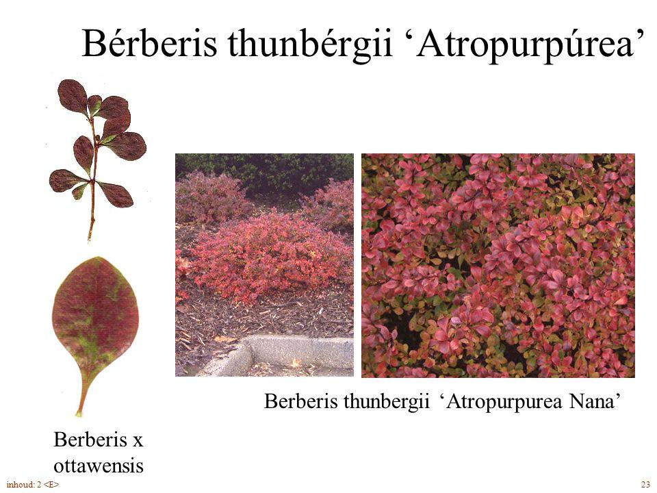 Bérberis thunbérgii 'Atropurpúrea' Berberis x ottawensis 23inhoud: 2 Berberis thunbergii 'Atropurpurea Nana'