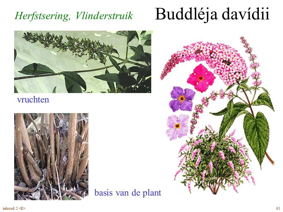 Buddléja davídii Herfstsering, Vlinderstruik vruchten basis van de plant 61inhoud: 2