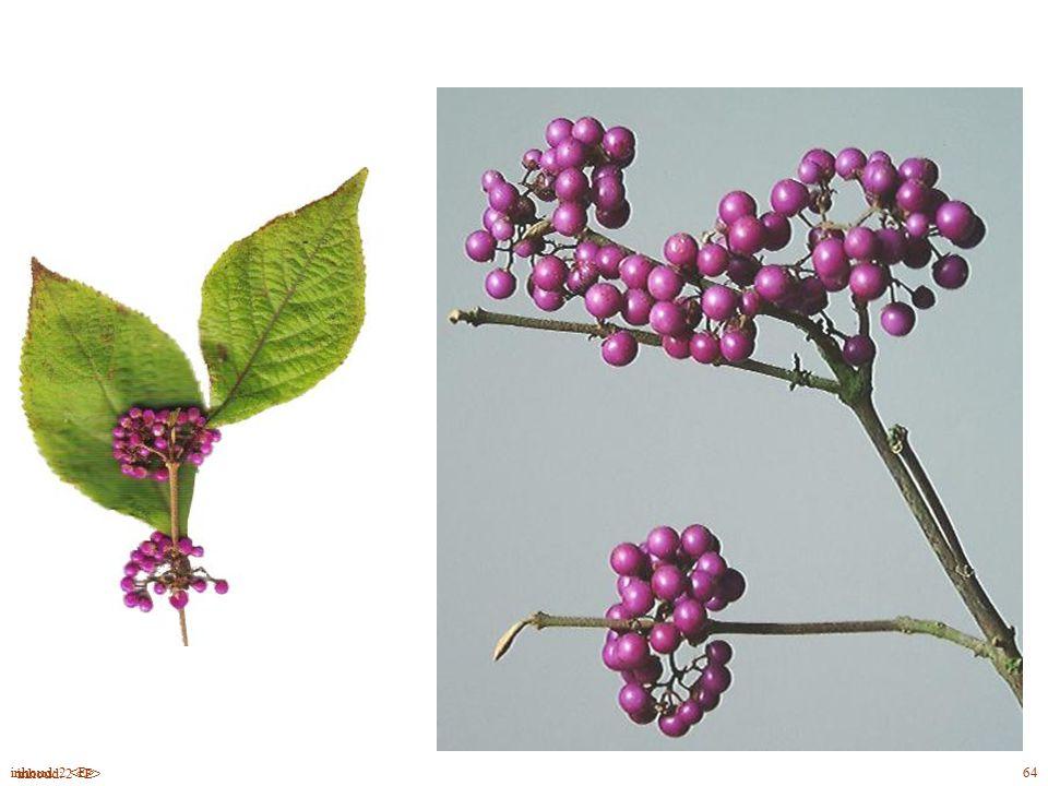 bloei Callicárpa bodiniéri blad, bloei, vrucht 64inhoud: 2