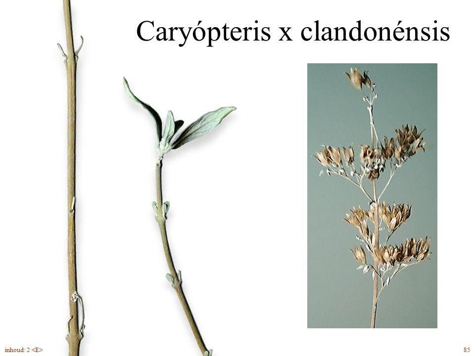 Caryópteris x clandonénsis 85inhoud: 2