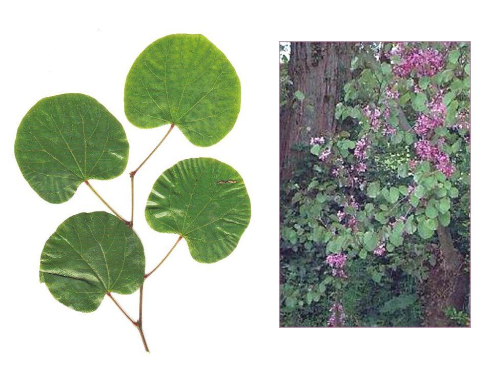 Cercis siliquastrum blad, bloei