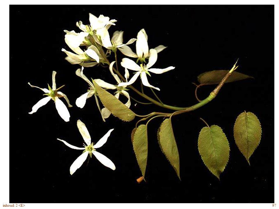 herfstkleuren Amelanchier lamarckii blad 97inhoud: 2