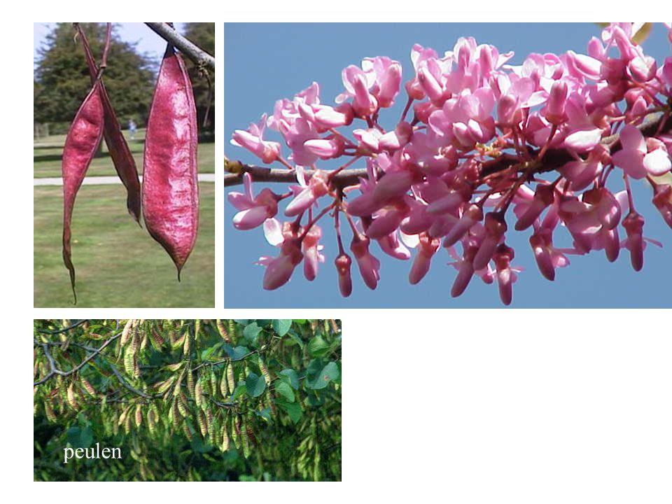 peulen Cercis siliquastrum bloei, vrucht