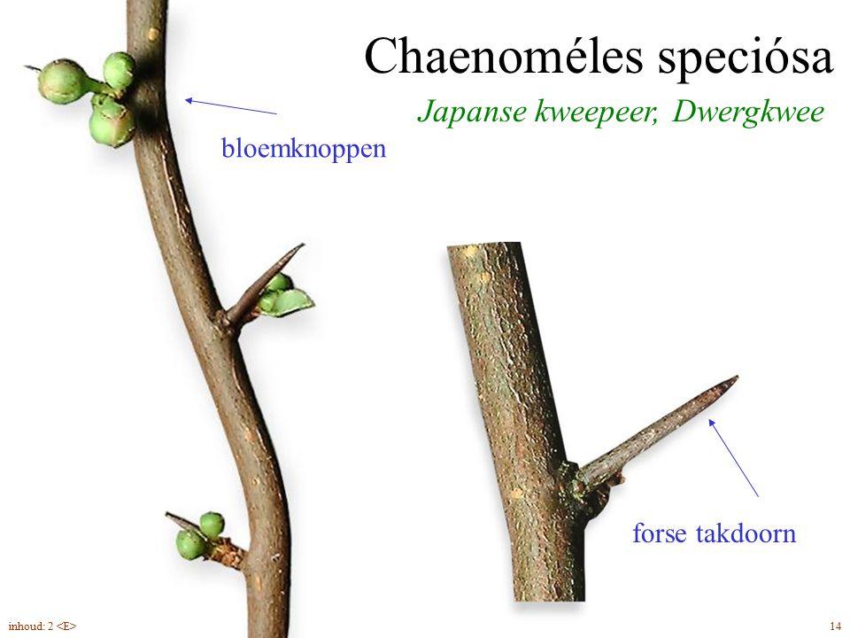 Japanse kweepeer, Dwergkwee Chaenoméles speciósa bloemknoppen forse takdoorn 14inhoud: 2