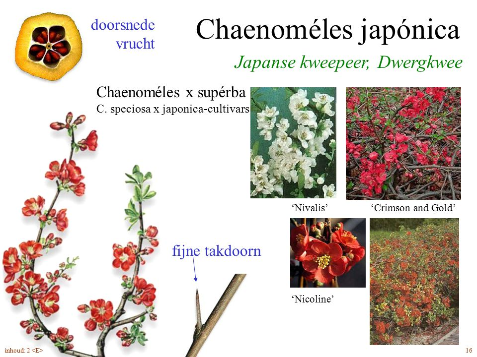 Japanse kweepeer, Dwergkwee Chaenoméles japónica / C. x supérba fijne takdoorn doorsnede vrucht 'Nivalis''Crimson and Gold' 'Nicoline' Chaenoméles x s