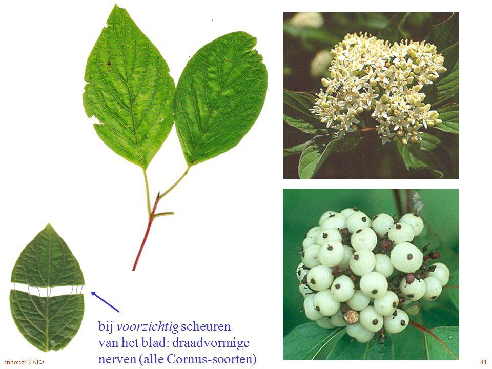 bij voorzichtig scheuren van het blad: draadvormige nerven (alle Cornus-soorten) Cornus alba blad, bloem, vrucht 41inhoud: 2