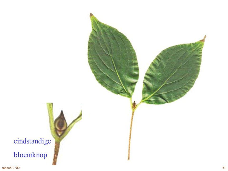 eindstandige bloemknop Cornus kousa blad 61inhoud: 2