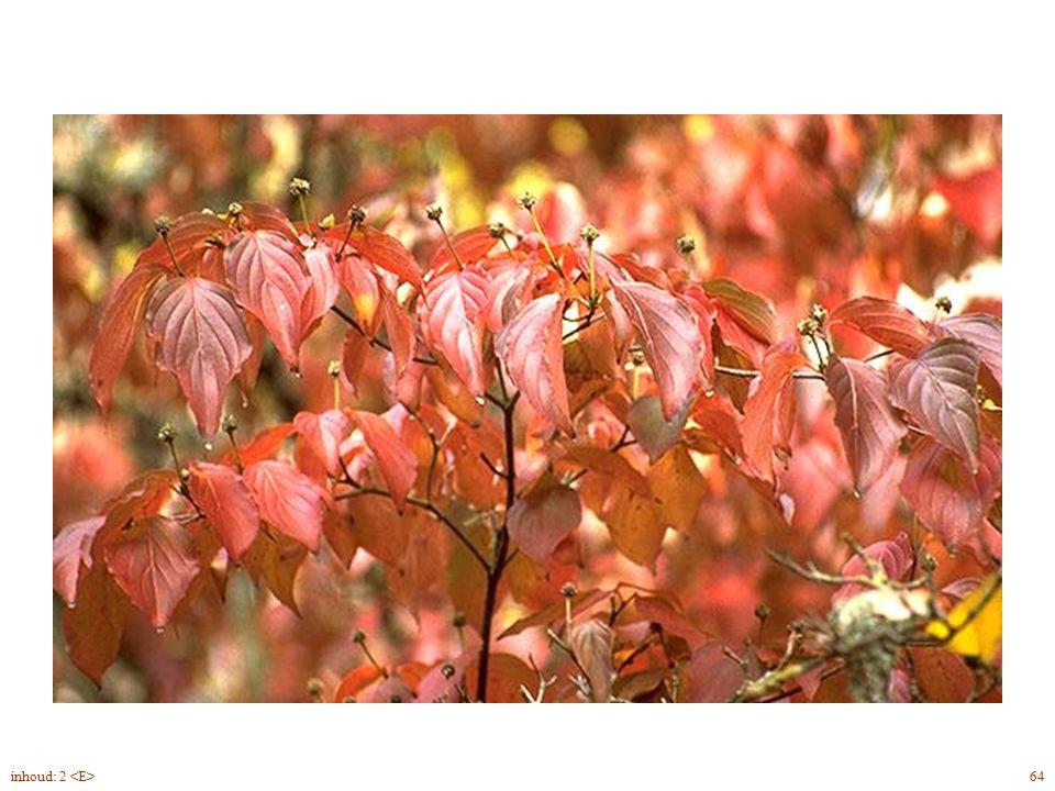 Cornus kousa blad herfst 64inhoud: 2