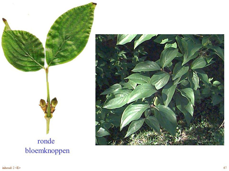 ronde bloemknoppen Cornus mas blad 67inhoud: 2