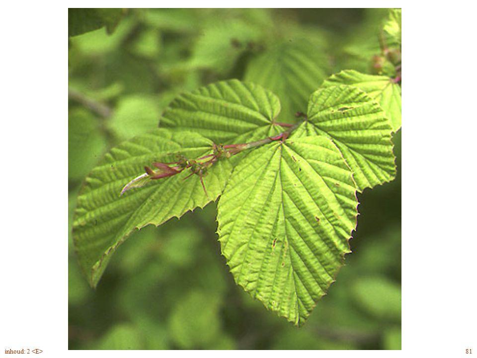 bladrand getand naaktbloeier Corylopsis pauciflora blad, bloei 81inhoud: 2