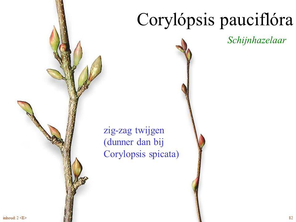 Corylópsis pauciflóra Schijnhazelaar zig-zag twijgen (dunner dan bij Corylopsis spicata) 82inhoud: 2