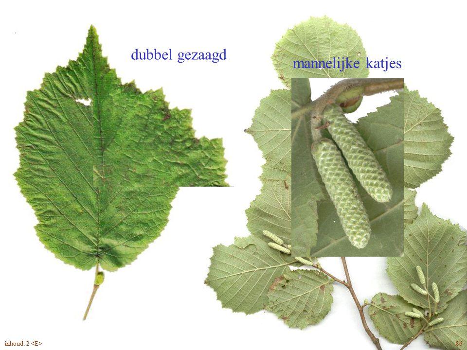 mannelijke katjes dubbel gezaagd Corylus avellana blad, bloei 86inhoud: 2