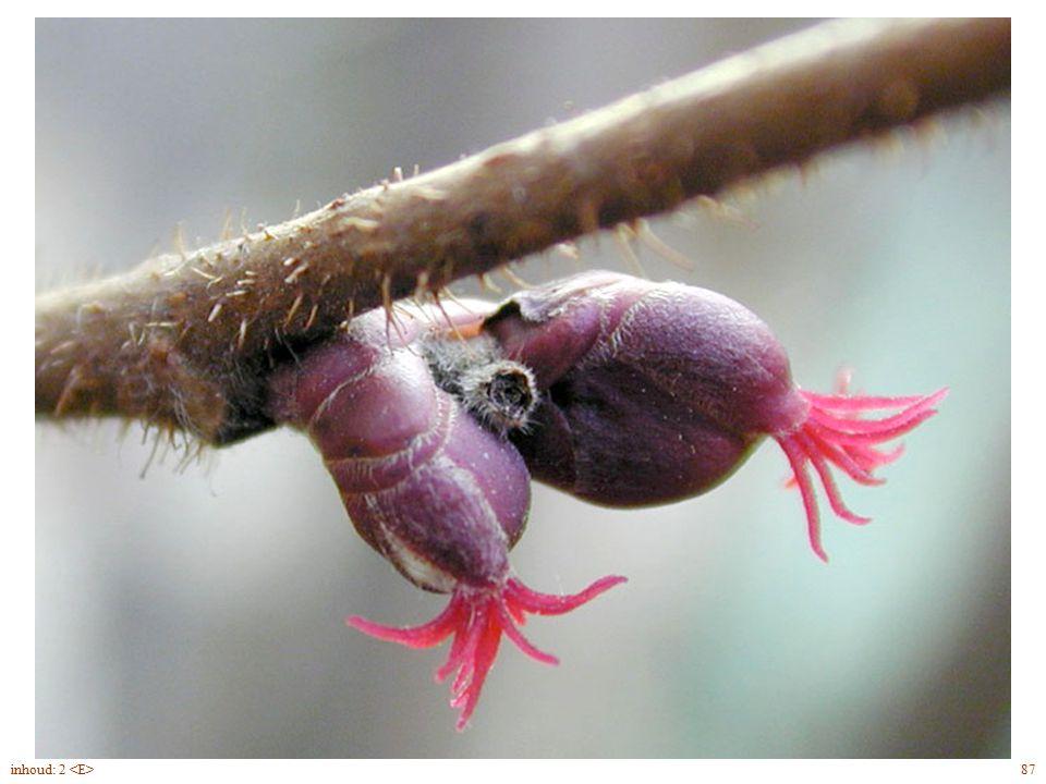 Corylus avellana bloei vrouwelijke bloem 87inhoud: 2