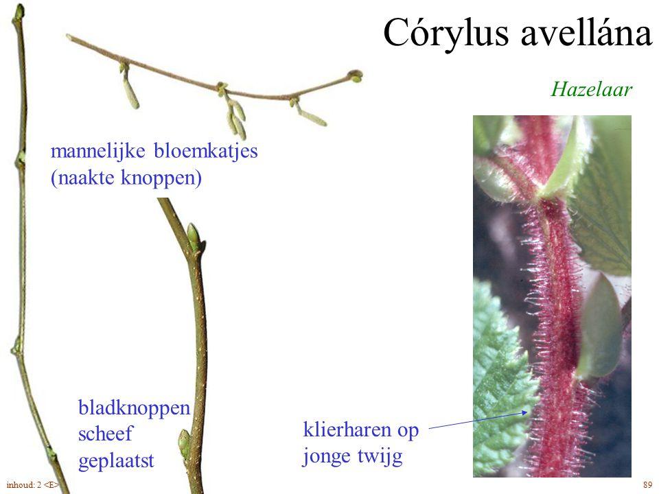Hazelaar Córylus avellána mannelijke bloemkatjes (naakte knoppen) bladknoppen scheef geplaatst klierharen op jonge twijg 89inhoud: 2