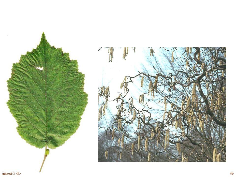 Corylus avellana 'Contorta' blad, bloei 90inhoud: 2