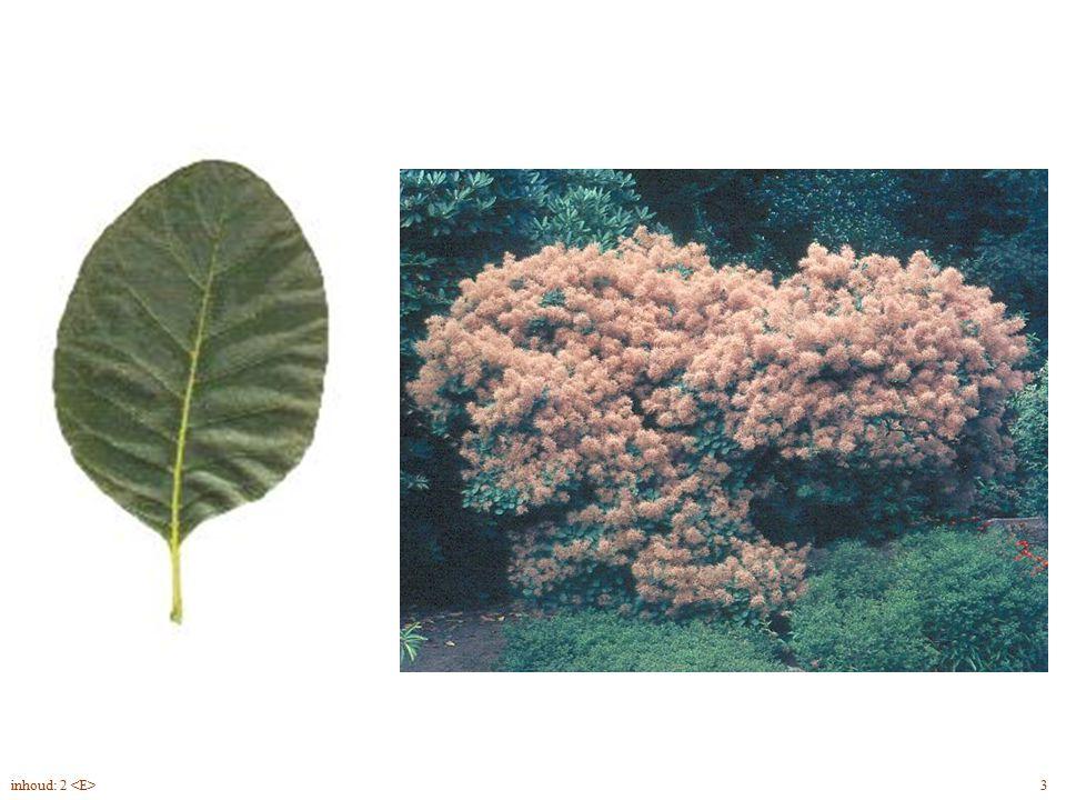 Cotinus coggygria blad, struik 3inhoud: 2