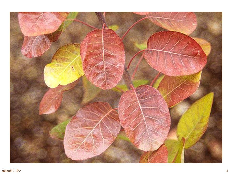 Cotinus coggygria bloei, herfst 4inhoud: 2