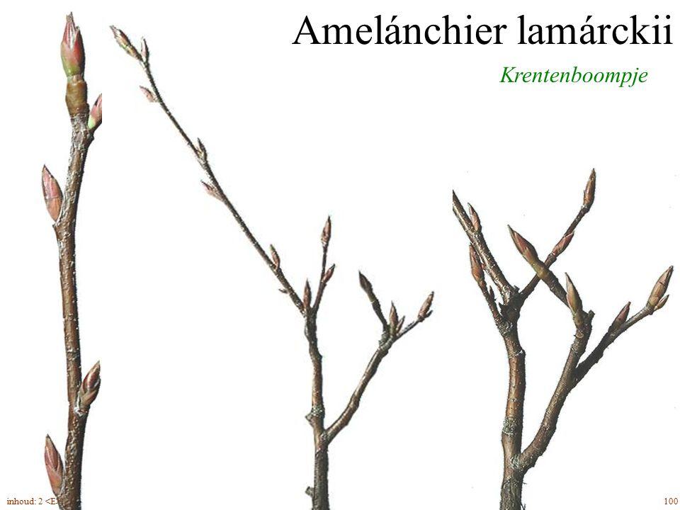 Krentenboompje Amelánchier lamárckii 100inhoud: 2