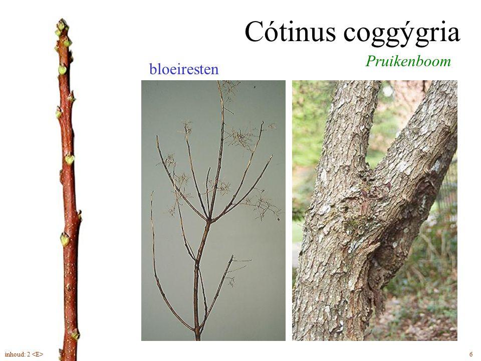Cótinus coggýgria bloeiresten Pruikenboom 6inhoud: 2