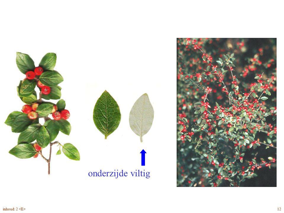 onderzijde viltig Cotoneaster dielsianus blad, vrucht 12inhoud: 2