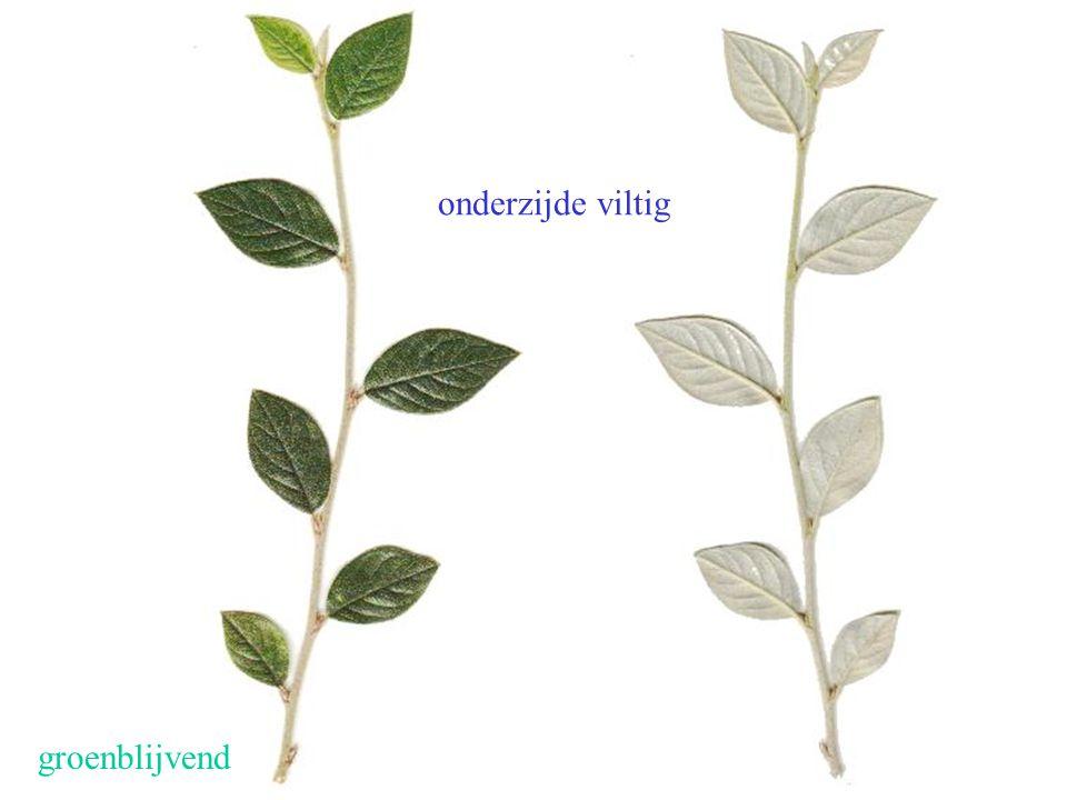 groenblijvend onderzijde viltig Cotoneaster franchetii blad